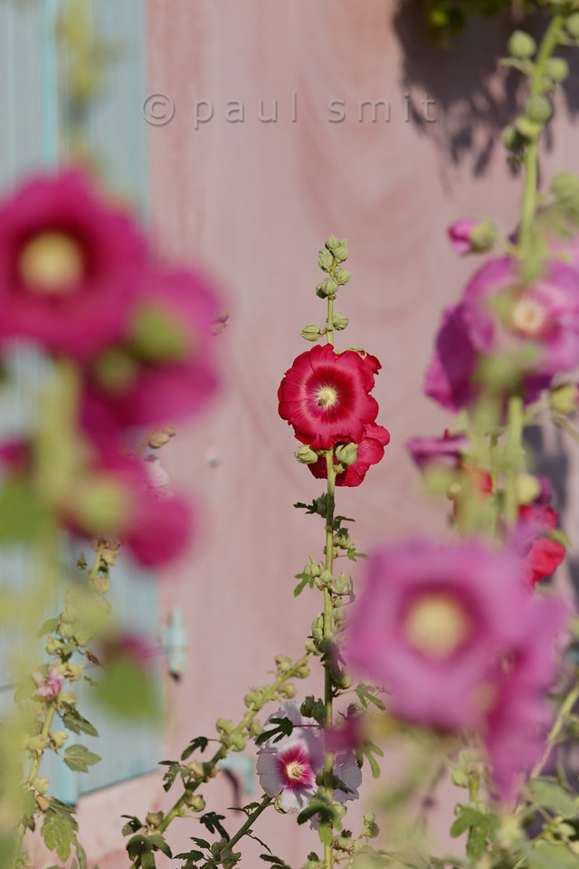 [FRANCE. ATLANTIC 30130] 'Hollyhocks on Ile d'Aix.'