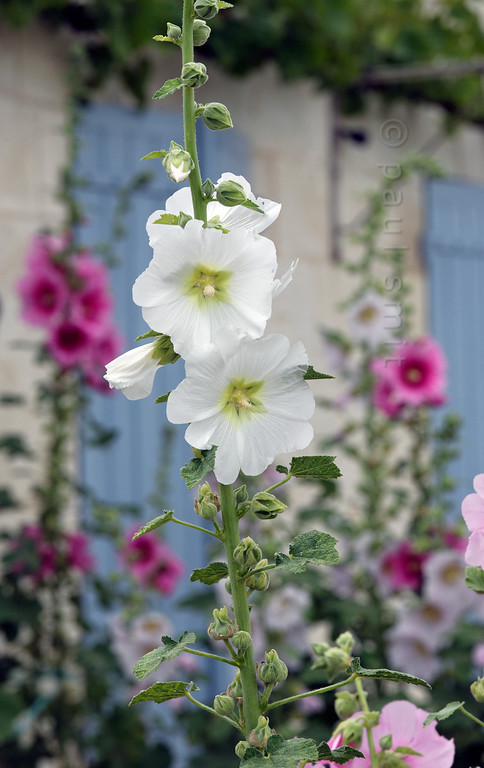[FRANCE. ATLANTIC 30119] 'Hollyhocks on Ile d'Aix.'