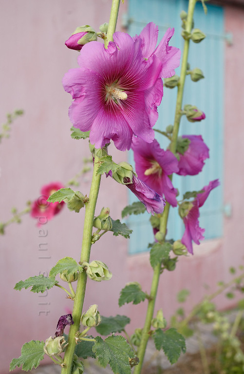 [FRANCE. ATLANTIC 30127] 'Hollyhocks on Ile d'Aix.'