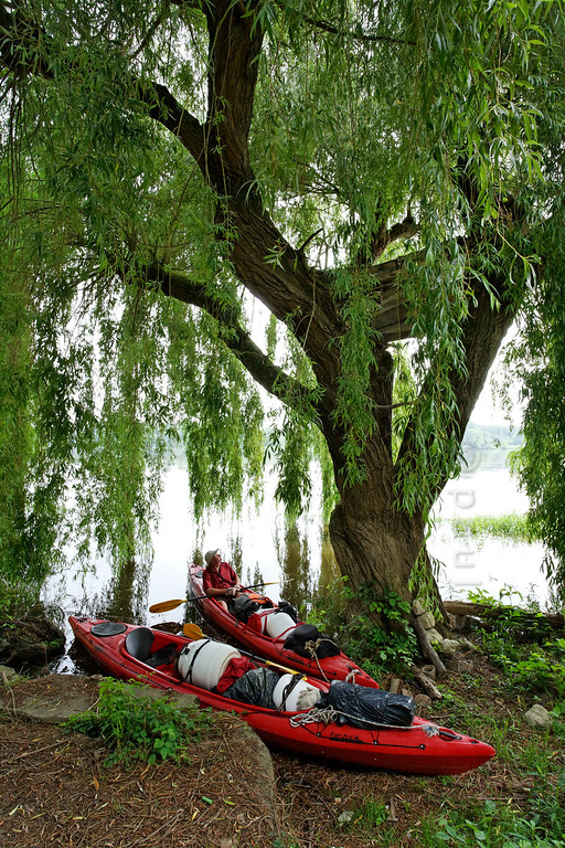 [FRANCE.LOIRE 10862] 'Tree hut in Weeping Willow.'  	At Candes-Saint-Martin a kayaker checks out a Weeping Willow on the Loire bank which shelters a hidden tree hut among its branches. Photo Paul Smit.