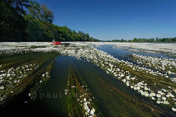 [FRANCE.LOIRE 10807] 'Kayaker surrounded by River Water-crowfoot.'  When you paddle down the Loire, soon after Orléans you will be in for a surprise. What looked like banks of white gravel in the distance, happen to be tapestries of flowering River Water-crowfoot (Ranunculus fluitans; NL: Vlottende waterranonkel), seen here at Beaugency. Rooted in the riverbed, the plants produce strands of up to 6 meters in length, stretched out in the current and waving. Let the flow enter you into these floating gardens, flowering from june till august. Watch the bees come and go to the white flowers with their yellow hearts. But mind you, you can get stuck! Photo Paul Smit.