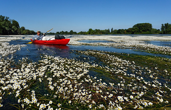 [FRANCE.LOIRE 10806] 'Kayaker surrounded by River Water-crowfoot.'  When you paddle down the Loire, soon after Orléans you will be in for a surprise. What looked like banks of white gravel in the distance, happen to be tapestries of flowering River Water-crowfoot (Ranunculus fluitans; NL: Vlottende waterranonkel), seen here at Beaugency. Rooted in the riverbed, the plants produce strands of up to 6 meters in length, stretched out in the current and waving. Let the flow enter you into these floating gardens, flowering from june till august. Watch the bees come and go to the white flowers with their yellow hearts. But mind you, you can get stuck! Photo Mick Palarczyk.
