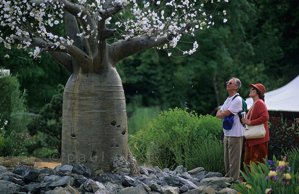 [FRANCE.LOIRE 10830] 'Weeping Baobab at Chaumont.'  	Visitors of the International Garden Festival at the castle of Chaumont-sur-Loire marvel at a man-made Baobab tree with flowers that produce droplets of water. Photo Paul Smit.