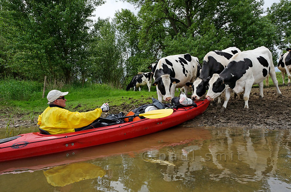 [FRANCE.LOIRE 10787] 'Kayaker welcomed by cows.'  	Watch it cows! A kayaker is surprised by nibbling livestock when he tries to moor on the Loire bank a few kilometers downstream of Sully-sur-Loire. Photo Paul Smit.