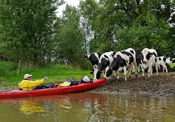 [FRANCE.LOIRE 10788] 'Kayaker welcomed by cows.'  Watch it cows! A kayaker is surprised by nibbling livestock when he tries to moor on the Loire bank a few kilometers downstream of Sully-sur-Loire. Photo Paul Smit.