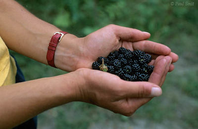 [FRANCE.COTEDAZUR 2735]  'Blackberries.'  Hiking above the Côte d'Azur means enjoying an occasional snack of figs, grapes or blackberries, with a view of both the Alps and the coast. Photo Paul Smit.