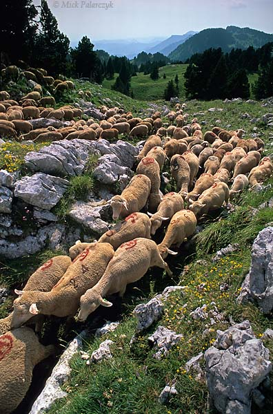 [FRANCE.ALPSNORTH 24.527] 'Sheep on the move.'  	On the Hauts Plateaux du Vercors a herd of sheep passes through a small gully without the attendance of a shepherd. Photo Mick Palarczyk.