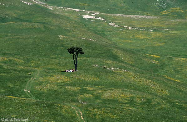 [FRANCE.ALPSNORTH 24.511] 'Lonesome pine-3.'  A lonesome pine tree offers a resting place for hikers on the Plaine de la Querie, a green plain on the Hauts Plateaux du Vercors. Photo Mick Palarczyk.