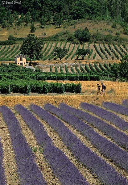 [FRANCE.ALPSSOUTH 24.399] 'Lavender near Châtillon.'  When the lavender is flowering, hiking in the Drôme valley is a joy for the eye, as here west of Châtillon-en-Diois. Photo Paul Smit.