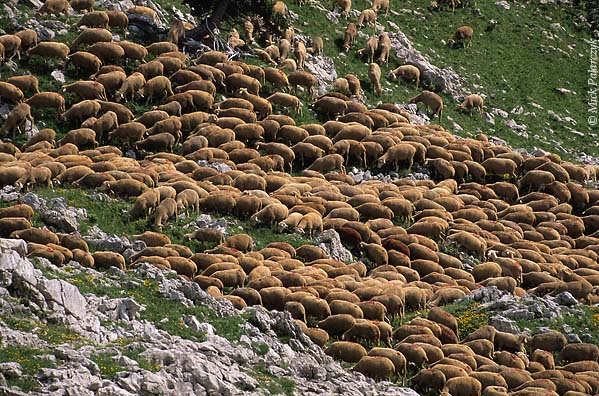 [FRANCE.ALPSNORTH 24.523] 'Grazing sheep.'  On the Hauts Plateaux du Vercors, the southern highest part of the Vercors, a herd of sheep grazes the slopes without the attendance of a shepherd. Photo Mick Palarczyk.