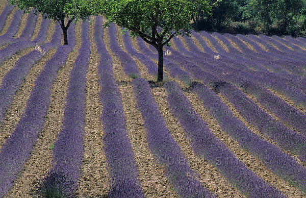 [FRANCE.ALPSSOUTH 24350] 'Lavender near Chamaloc.'  The warm sunny climate of the Drôme valley favours the cultivation of lavender, as here near the village of Chamaloc, north of Die. Photo Paul Smit.
