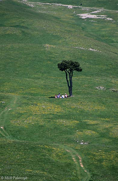 [FRANCE.ALPSNORTH 24.510] 'Lonesome pine-2.'  	A lonesome pine tree offers a resting place for hikers on the Plaine de la Querie, a green plain on the Hauts Plateaux du Vercors. Photo Mick Palarczyk.