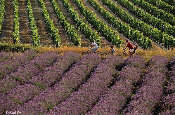 [FRANCE.ALPSSOUTH 24.405] 'Cyclists in lavender fields-3.'  In the Drôme valley a biking family enjoys the sights and scents of lavender fields near les Payats, south of Châtillon-en-Diois. Photo Paul Smit.
