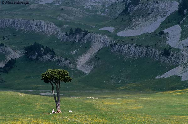 [FRANCE.ALPSNORTH 24.505] 'Lonesome pine-1.'  	A lonesome pine tree offers a resting place for hikers on the Plaine de la Querie, a green plain on the Hauts Plateaux du Vercors. Photo Mick Palarczyk.