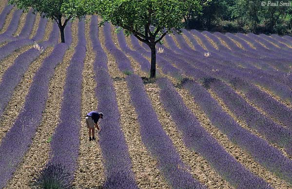 [FRANCE.ALPSSOUTH 24.350] 'Lavender near Chamaloc-1.'  	The warm sunny climate of the Drôme valley favours the cultivation of lavender, as here near the village of Chamaloc , north of Die. Photo Paul Smit.