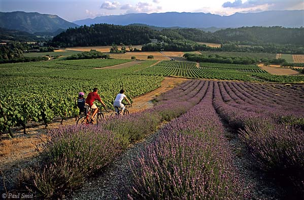 [FRANCE.ALPSSOUTH 24.401] 'Cyclists in lavender fields-1.'  In the Drôme valley a biking family enjoys the sights and scents of lavender fields near les Payats, south of Châtillon-en-Diois. Photo Paul Smit.