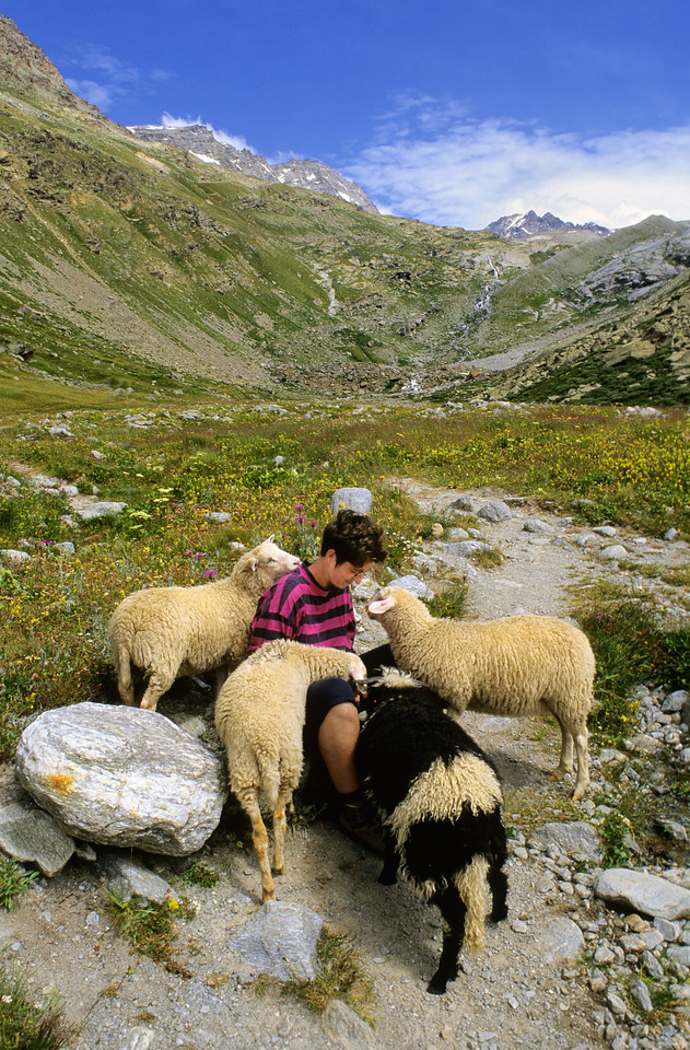 [FRANCE.ALPSNORTH 10946] 'Woolly welcome.'  During a hike in the upper Arc valley you might be welcomed warmly by the local inhabitants: sheep. Photo Paul Smit.
