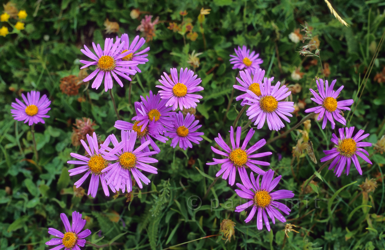 [FRANCE.ALPSNORTH 10987] 'Alpine asters.'  Group of Alpine asters (Aster Alpinus) in the Vanoise national park north of Termignon. Photo Paul Smit.