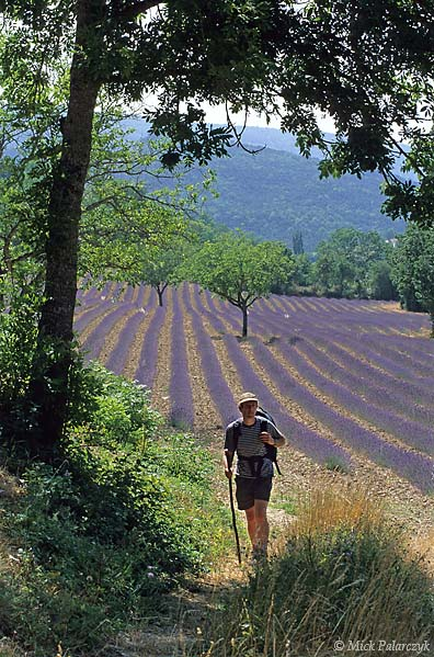 [FRANCE.ALPSSOUTH 24.352] 'Lavender near Chamaloc-2.'  The warm sunny climate of the Drôme valley favours the cultivation of lavender, as here near the village of Chamaloc , north of Die. Photo Mick Palarczyk.