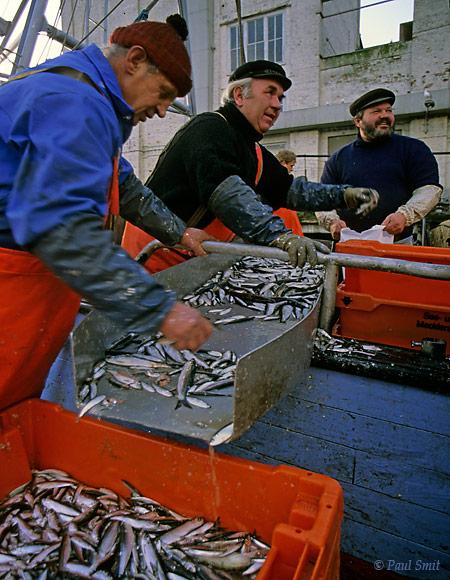 [GERMANY.MECKLENBURG 9462]  'Fishermen, Sassnitz, Island of Rügen.'  Fishermen sorting the herring in the port of Sassnitz on the island of Rügen.  Photo Paul Smit.