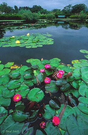 [BRITAIN.WALES 2417] 'Bodnant Garden.' Waterlillies in Bodnant Garden, Conwy Valley, Snowdonia. Photo Paul Smit.