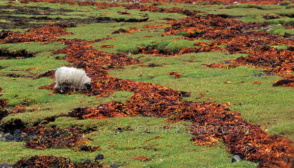 [BRITAIN.HEBRIDES 27850] 'Orange high water lines.'  	The eastern shore of Loch Slapin near Torrin on south Skye has several high water lines made up of orange-brown kelp. Photo Mick Palarczyk.