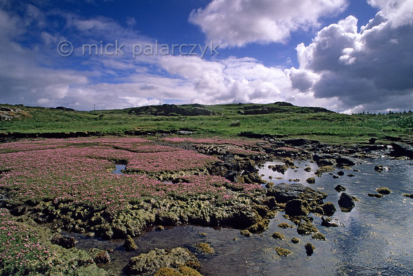 [BRITAIN.HEBRIDES 27689] 'Mud-flat on Great Bernera.'  	A mud-flat on the southern shore of Great Bernera is covered in flowers. The Isle of Great Bernera was linked to the north coast of Lewis by a bridge in 1953. Photo Mick Palarczyk.