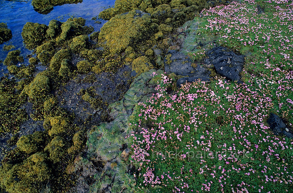 [BRITAIN.HEBRIDES 27690] 'Mud-flat on Great Bernera.'  	A mud-flat on the southern shore of Great Bernera is covered in flowers. The Isle of Great Bernera was linked to the north coast of Lewis by a bridge in 1953. Photo Mick Palarczyk.