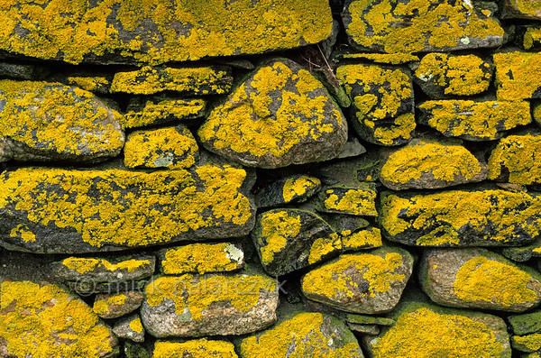 [BRITAIN.HEBRIDES 27733] 'Lichen covered wall.'  	In Baile on the Isle of Berneray (between the Isle of North Uist and Harris) lichens are covering the wall of a farmhouse. Photo Mick Palarczyk.