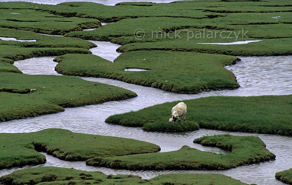 [BRITAIN.HEBRIDES 27728] 'Grassland maze.'  On grassland dissected by a maze of tidal channels near Northon on South Harris sheep manage to find their way. Photo Mick Palarczyk.