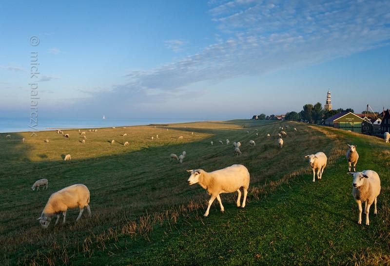 [HOLLAND.FRIESLAND 30187] 'Sheep near Hindeloopen.'