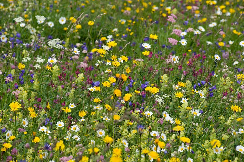 Flowering Alpine pasture in Merdeux valley.