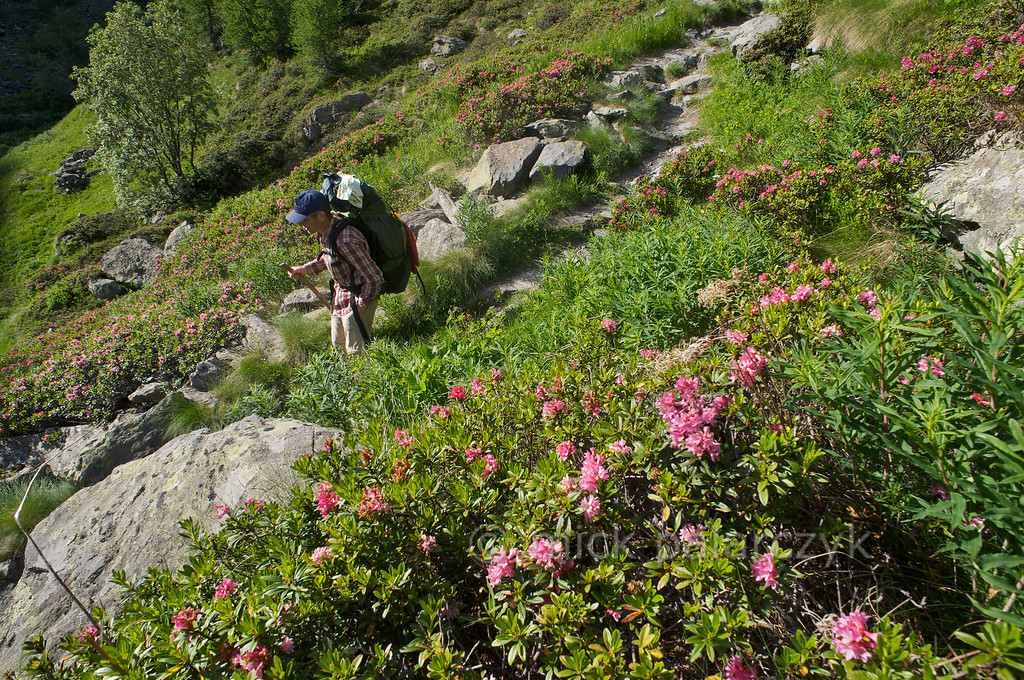 Mountain trail among alpenroses.