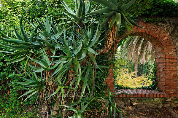 [ITALY.LIGURIA 28978] 'Aloes on a wall in Hanbury Gardens.'  Specimens of Aloë cover a wall in the Hanbury Botanical Gardens, located on the Côte d'Azur near Ventimiglia. Photo Mick Palarczyk.