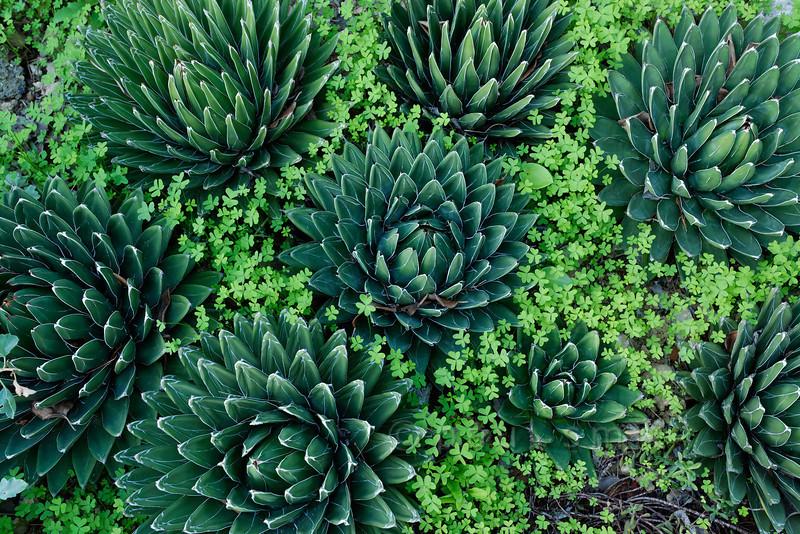 [ITALY.LIGURIA 29037] 'Agave victoria reginae in Hanbury Gardens'.'  Agave victoria reginae (Mexico) in the Hanbury Botanical Gardens near Ventimiglia. Photo Paul Smit.