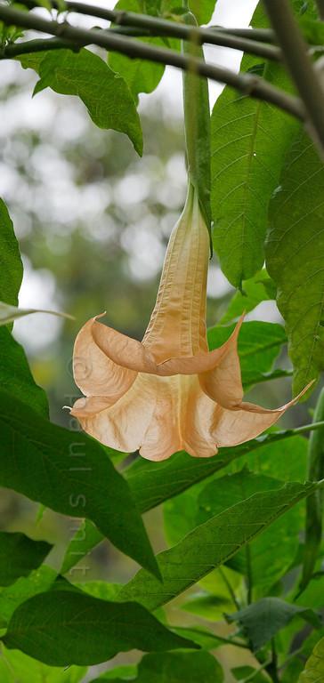 [ITALY.LIGURIA 29018] 'Brugmansia versicolor in Hanbury Gardens'.'  Brugmansia versicolor (Ecuador) in the Hanbury Botanical Gardens near Ventimiglia. Photo Paul Smit.