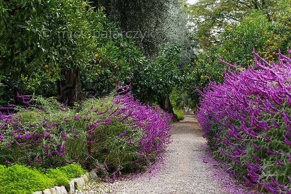 [ITALY.LIGURIA 28990] 'Salvia leucantha 'Purple velvet'.'  	The purple flowers of Salvia leucantha 'Purple velvet' border the central avenue in the Hanbury Botanical Gardens, which are located on the Côte d'Azur near Ventimiglia. Photo Mick Palarczyk.