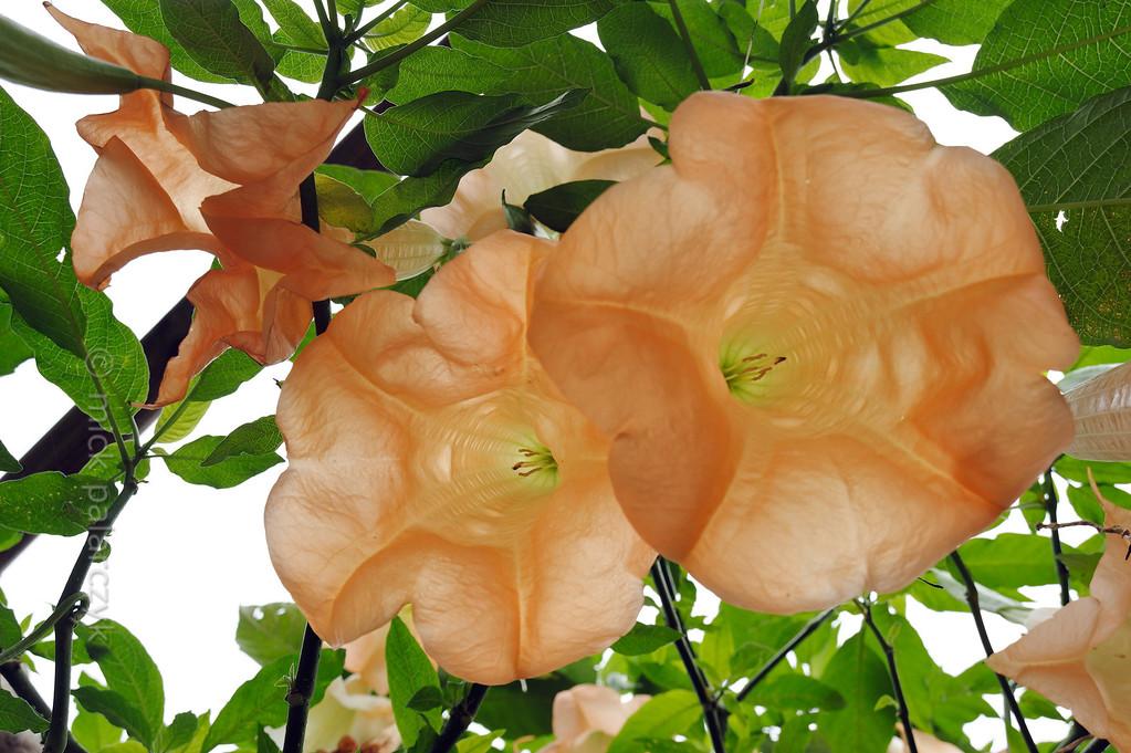 [ITALY.LIGURIA 29017] 'Brugmansia versicolor in Hanbury Gardens'.'  Brugmansia versicolor (Ecuador) in the Hanbury Botanical Gardens near Ventimiglia. Photo Mick Palarczyk.