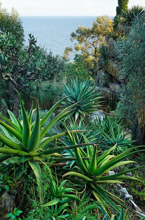 [ITALY.LIGURIA 29012] 'Succulents and cacti in Hanbury Gardens'.'  Succulents and cacti in the Hanbury Botanical Gardens near Ventimiglia. Photo Mick Palarczyk.