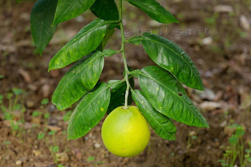 [ITALY.LIGURIA 29029] 'Citrus lumia in Hanbury Gardens'.'  The Hanbury Botanical Gardens near Ventimiglia are famous for its many Citrus species. Here we see the Citrus lumia. Photo Paul Smit.