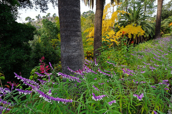 [ITALY.LIGURIA 28974] 'Ginkgo and Salvia leucantha.'  A Ginkgo in yellow autumn garb forms a striking colour contrast with the purple flowers of Salvia leucantha at the Hanbury Botanical Gardens, located on the Côte d'Azur near Ventimiglia. Photo Mick Palarczyk.