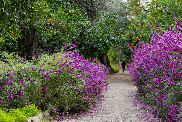 [ITALY.LIGURIA 28991] 'Salvia leucantha 'Purple velvet'.'  The purple flowers of Salvia leucantha 'Purple velvet' border the central avenue in the Hanbury Botanical Gardens, which are located on the Côte d'Azur near Ventimiglia. Photo Mick Palarczyk.
