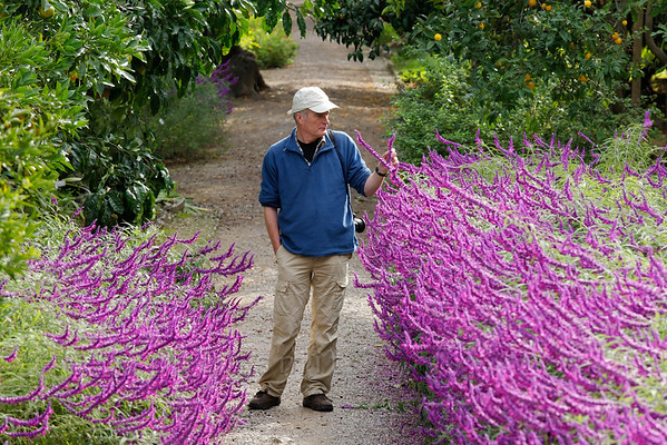 [ITALY.LIGURIA 28987] 'Salvia leucantha 'Purple velvet'.'  The purple flowers of Salvia leucantha 'Purple velvet' border the central avenue in the Hanbury Botanical Gardens, which are located on the Côte d'Azur near Ventimiglia. Photo Paul Smit.