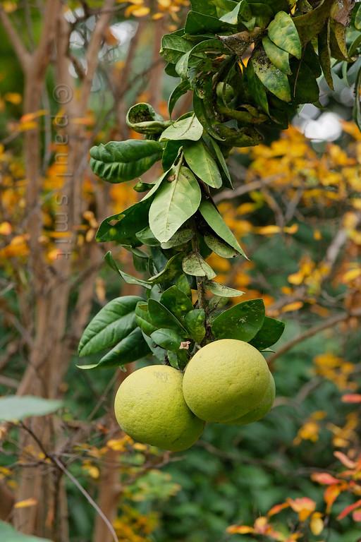 [ITALY.LIGURIA 29024] 'Citrus maxima in Hanbury Gardens'.'  The Hanbury Botanical Gardens near Ventimiglia are famous for its many Citrus species. Here we see the pomelo (NL: pompelmoes, Citrus maxima). Photo Paul Smit.