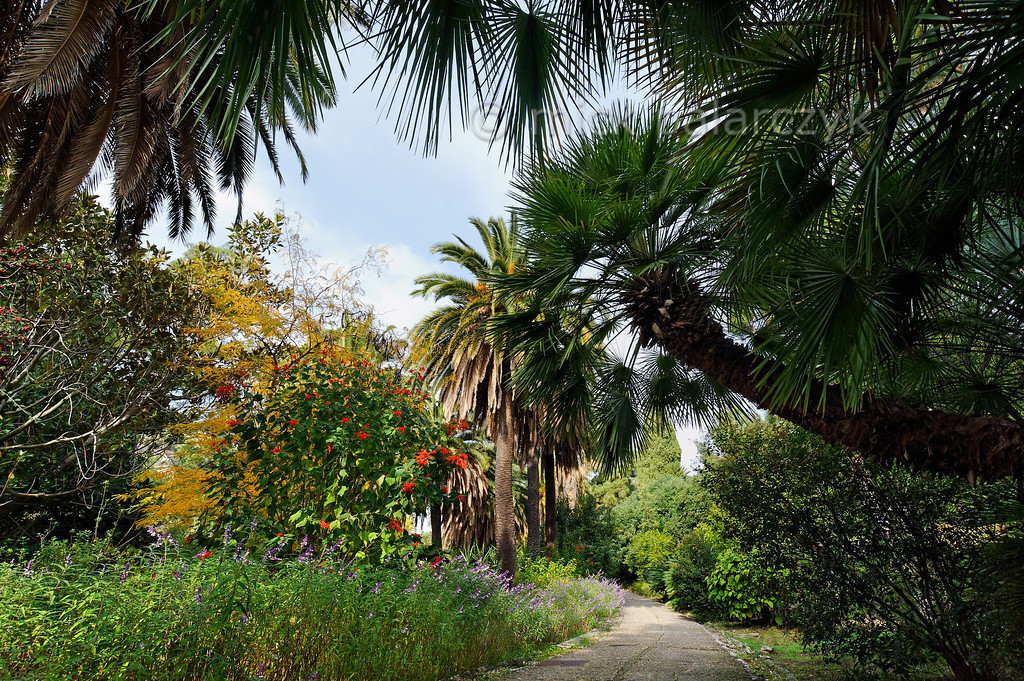 [ITALY.LIGURIA 28977] 'Mediterranean Fan Palm at Hanbury Gardens.'  The stem of a Mediterranean Fan Palm (Chamaerops humilis) is arching over a path in the Hanbury Botanical Gardens, located on the Côte d'Azur near Ventimiglia. On the left the path is bordered by the purple flowers of Salvia leucantha. Photo Mick Palarczyk.