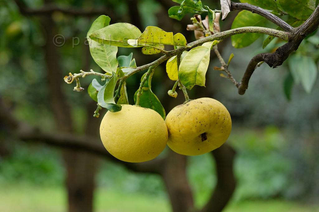 [ITALY.LIGURIA 29023] 'Citrus maxima in Hanbury Gardens'.'  The Hanbury Botanical Gardens near Ventimiglia are famous for its many Citrus species. Here we see the pomelo (NL: pompelmoes, Citrus maxima). Photo Paul Smit.