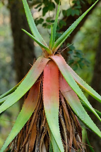 [ITALY.LIGURIA 29013] 'Aloe succotrina in Hanbury Gardens'.'  Aloe succotrina (Cape Province) in the Hanbury Botanical Gardens near Ventimiglia. Photo Paul Smit.