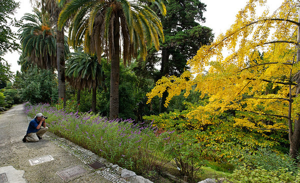 [ITALY.LIGURIA 28970] 'Photographing in Hanbury Gardens.'  A visitor is photographing a Ginkgo in yellow autumn garb at the Hanbury Botanical Gardens, located on the Côte d'Azur near Ventimiglia. Photo Paul Smit.