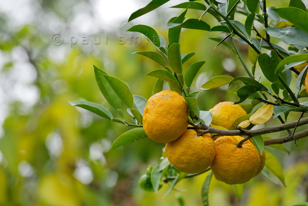 [ITALY.LIGURIA 29025] 'Citrus junos in Hanbury Gardens'.'  The Hanbury Botanical Gardens near Ventimiglia are famous for its many Citrus species. Here we see the yuzu (Citrus junos, China) that tastes a like a lemon but is bit less sharp. Photo Paul Smit.