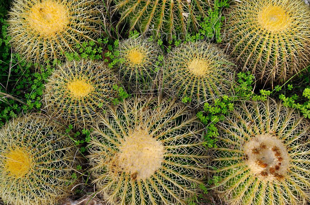 [ITALY.LIGURIA 28959] 'Echinocactus grusonii.'  Globular cacti (Echinocactus grusonii, Mexico) in the Hanbury Botanical Gardens near Ventimiglia. Photo Mick Palarczyk.